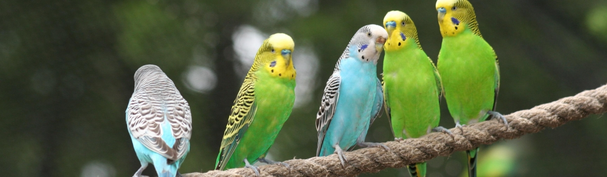 budgies on rope